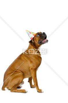 boxer celebration - Pet dog wearing celebration hat.