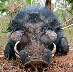 wild boar Wild Boar Hunting, Hog Hunting, Animals And Pets, Cute Animals, Musk Ox, Deer Family, Animal 2, Animal Totems, African Animals