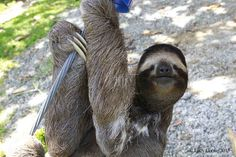 Cheeky sloths. | The 29 Cutest Sloths That Ever Slothed