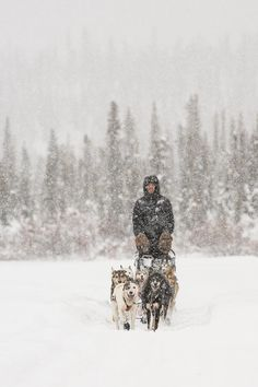 Mushing Through A Snow Storm Photograph  - Mushing Through A Snow Storm Fine Art Print