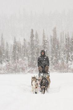 Mushing Through A Snow Storm Photograph  - Mushing Through A Snow Storm Fine Art Print