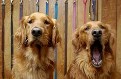 Too dog tired to avoid danger: Like humans, dogs engage in riskier behaviors when their self-control is depleted