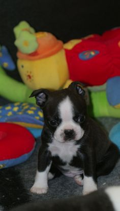 Here is a photo of a Boston Terrier puppy named Rogue at 6 weeks old from Nottingham, England. His owner says :