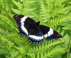 White Admiral (Limenitis arthemis) - butterfly