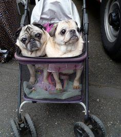 sweetest pug couple <3