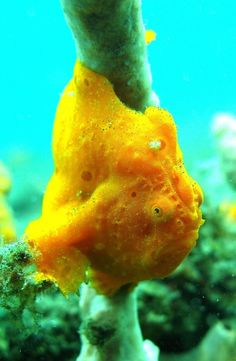 Frogfish, ocean creature……No one other than the man upstairs can dream up what is here on this planet!