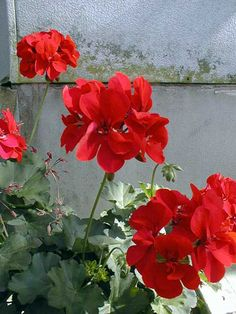 Geranium in any color! All Flowers, Summer Flowers, Beautiful Flowers, Beautiful Things, Red Geraniums, Malva, Bird Tree, Gladiolus, Flower Beds