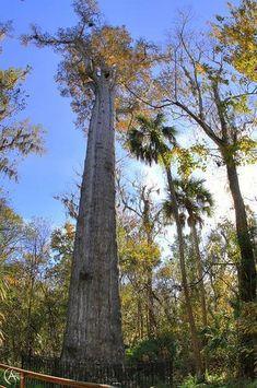Le Sénateur - 58 mètres de hauteur - Le plus vieux cyprès chauve des Etats-Unis - 3500 ans - Brûlé en Janvier 2012 par une jeune femme en possession de stupéfiants...