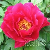 *I have this one. UNIQUE Itoh Peony Tropical Plants, Peony, Beautiful Flowers, Roots, I Am Awesome, Gardening, Unique, Pretty Flowers, Peony Flower