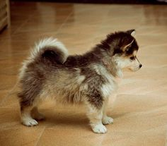 Pomsky puppy- pomeranian husky mix. I must have this.