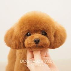 トイプードルのトリミング人気カットスタイル東京表参道 Dog Grooming Styles, Dog Grooming Tips, Poodle Grooming, Poodles, Cute Puppies, Cute Dogs, Small Poodle, Poodle Cuts, Dog Haircuts