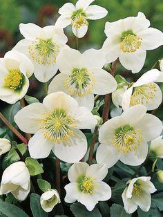 Helleborus niger – Christmas Rose, Black Helleborus  See its profile and more photos here ◢ http://worldoffloweringplants.com/helleborus-niger-christmas-rose-black-helleborus/