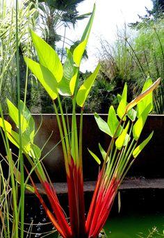 Kuzma Garden 2014, Thalia geniculata 'Red Stem'