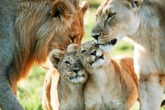 View top-quality stock photos of Lion Family Male Female And Two Cubs. Find premium, high-resolution stock photography at Getty Images. Beautiful Cats, Animals Beautiful, Cute Baby Animals, Animals And Pets, Wild Animals, Big Cats, Cute Cats, Lion Family, Bobtail Cat