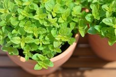 Sweet marjoram 100 seeds - Origanum majorana - Organic, non-GMO Flower Seeds, Flower Pots, Marjoram Essential Oil, Essential Oils, Canning Vegetables, Dry Plants, Herbs Indoors, Indoor Herbs, Gardens