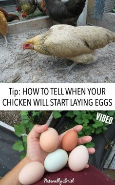 Waiting for that first egg is a painstaking process. In this post I shared a quick video on how to tell when your chicken will start laying eggs.