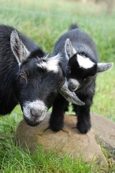 Pygmy Goat and Kid and this is why I love goats. Cute Baby Animals, Farm Animals, Funny Animals, Funny Cats, Fun Funny, Funny Cat Pictures, Animal Pictures, Adorable Pictures, Beautiful Creatures