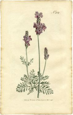 Free Lavender Botanical Print - make your own roll down botanical chart
