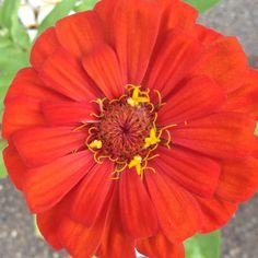 Flower - Zinnia