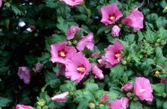 Sester Farms Aphrodite Hibiscus Latin Name: Hibiscus syriacus 'Aphrodite' Wholesale Tree Nursery