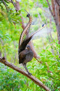 David Attenborough called this beautiful Lyrebird one of the best songbirds in the world (it is also the biggest singing bird in the world). During the mating season, he mimics a range of bird… Most Beautiful Birds, Pretty Birds, Animals Beautiful, Exotic Birds, Colorful Birds, Tropical Birds, Exotic Pets, Animals And Pets, Cute Animals