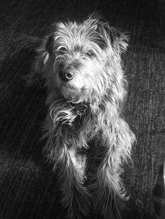 Chenin! Miniature Irish Wolfhound!!