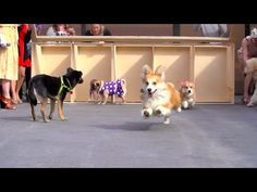 Watch a Bunch of #Adorable #Dogs Compete in the Kentucky #Derpy http://ibeebz.com