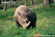 Sumatran rhinoceros grazing