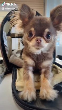 Baby Animals Super Cute, Cute Baby Dogs, Cute Funny Dogs, Cute Dogs And Puppies, Cute Little Animals, Cute Funny Animals, Funny Chihuahua Pictures, Doggies, Little Dogs