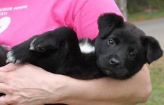 Meet Hummer 22137, a Petfinder adoptable Black Labrador Retriever Dog | Prattville, AL | Hummer is an 8-week-old male Black Lab mix. He has the most adorable little face! Hummer is black...