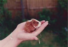 Baby guinea pig:)