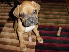 Boxer Puppy Picture