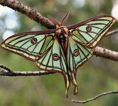 Spanish moon moth (Graellsia isabellae) on insects galore - wow! - Spanish moon moth (Graellsia isabellae) on insects galore – wow! Beautiful Creatures, Animals Beautiful, Cute Animals, Beautiful Bugs, Beautiful Butterflies, Stunningly Beautiful, Beautiful Friend, Moon Moth, Moth Caterpillar