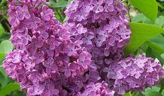 Jedan je od najprepoznatljivijih proljetnih cvjetova jorgovan koji u svojim cvjetovima, listovima i stabljici skriva brojna ljekovita svojstva pa je vrlo popularna biljka u homeopatiji....