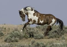 Pinto horse - wild mustang - Picasso Leaps Photograph  - Picasso Leaps Fine Art Print