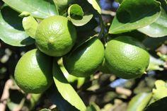 lemons on tree branches Indoor Lemon Tree, Gardening, Growing Vegetables, Diet And Nutrition, Garden Planning, Tricks, Farmer, Braids, Fruit