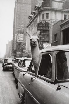 Everybody needs a city llama. I need a city llama. With a hat. Black And White Picture Wall, Black And White Pictures, Black White, Lama Animal, Inge Morath, Times Square, Black And White Aesthetic, Photo Wall Collage, Magnum Photos