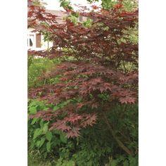 Middels stor busk med etterhvert bred vifteformet vekst. Mørkerøde blader som blir intenst blodrøde på høsten. Trives i de fleste veldrenerte jordtyper, men foretrekker jevnt fuktig, lett sur jord. ...