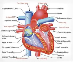 External anatomy of Heart | Cardiac | Pinterest | Heart ...