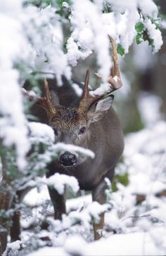 young male deer hiding in snowy branches