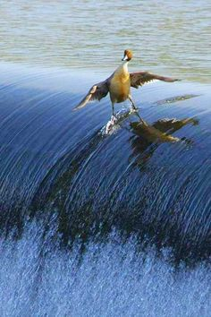 Surfing Duck, even animals can shred.. #surfing #USOpen #SwimSpot www.SwimSpot.com