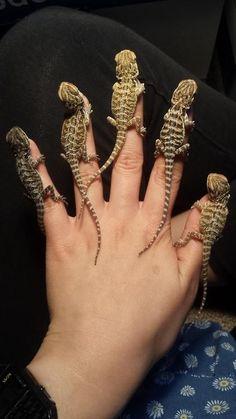 Bearded Dragon Babies on fingers!! #beardeddragoncagediy