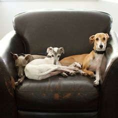 italian greyhounds.  reminds me of some pretty girls i know...stella....sienna....
