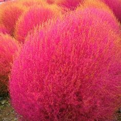 The Original Burning Bush - 100 Seeds Bonsai Plants, Garden Plants, Garden Grass, Bonsai Garden, Shade Garden, Trees And Shrubs, Trees To Plant, Outdoor Plants, Outdoor Gardens