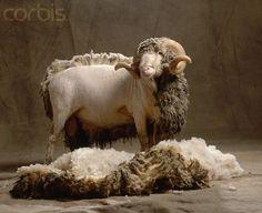 Merino sheep Rambouillet