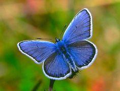 Borboleta Azul    Correndo risco de extinção em diversos países, a borboleta-azul ou Maculinea alcon, pode ser encontrada na Europa e na Ásia setentrional, especialmente durante o período do verão.