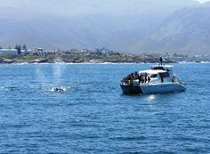 There are many added advantages to boat based whale watching in Hermanus, as opposed to whale watching from the land. Shore Watches, Whale Watching, Marine Life, South Africa, Beats, Followers, Wildlife, Southern, Park