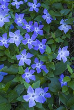 Vinca Also Called Creeping Myrtle, This Plant Is Commonly Used As A Ground Cover. This Plant Can Actually Tolerate Deep Shade Conditions, But Thrive The Most In Partial Shadejust Not Direct Sunlight. Shade Garden Plants, Garden Bulbs, Garden Shrubs, Garden Pests, House Plants, Best Perennials For Shade, Flowers Perennials, Perennial Ground Cover, Ground Cover Plants
