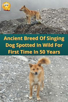#Ancient #Breed #Singing #Dog #Spotted #Wild #Years