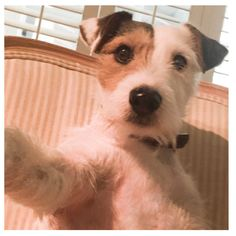 Selfie! Jack Russell Terrier